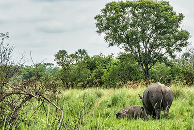 Mother and baby rhino in Ziwa Rhino Sancturary.