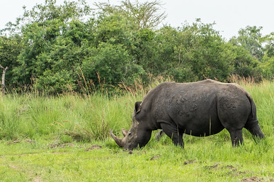 A mother rhino that was a surpise.  We were on our way to see our rhinos.