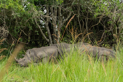 Five adult rhinos taking an afternoon nap which is common for adult rhinos.