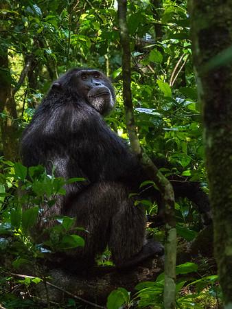 Uganda Chimpanzee 2018
