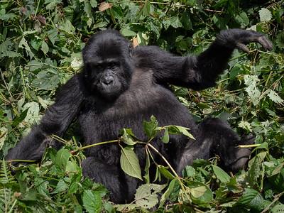Uganda Gorillas 2018