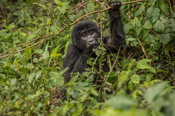 Uganda Gorillas April 2018