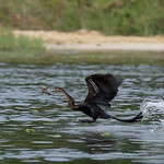 Ahinga fishing! Murchison Falls