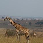 Giraffe in Murchison Falls