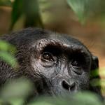 Thoughtful chimpanzee, Kibale