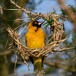 Weaver building a nest, QENP