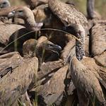 Vulture feast, Kidepo