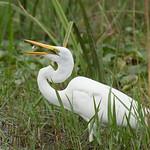 Egret snack, Murchison Falls