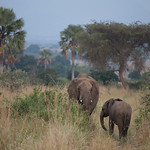 Elephants in Kidepo