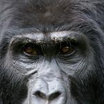 Gorilla eyes, Bwindi