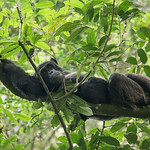 Chimpanzee lounging, Kibale