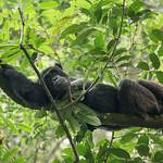 Chimpanzee lounging, Kibale