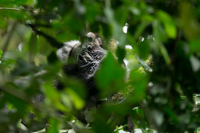 Peering chimpanzee, Kibale