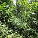 Gorilla terrain, Bwindi