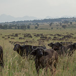 Buffalo herd, Kidepo