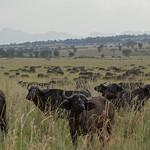 Buffalo herd, Kidepo