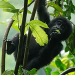 Baby gorilla eating, Bwindi