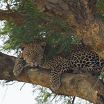 Leopard in Murchison