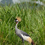 Crowned Crane--National bird of Uganda, Murchison Falls