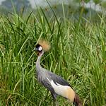 Crowned Crane--National bird of Uganda, Murchison Falls