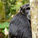 Shy chimpanzee, Kibale