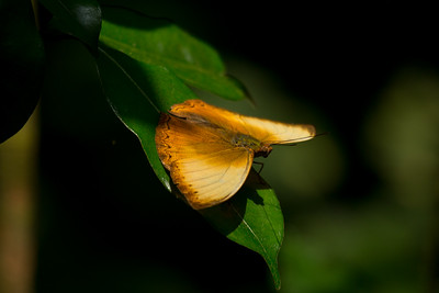 Sunlit butterfly, Kibale