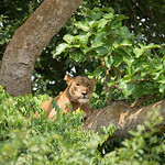 Lion in Fig Tree, Ishasha sector, QENP
