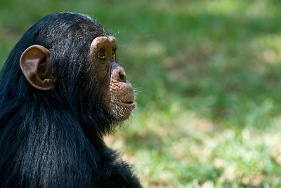 baby chimpanzee at the kampala zoo