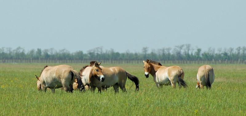 Ukraine, Przewalski's horse