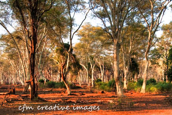 Fever Tree Forest - Kruger Park - South Africa
