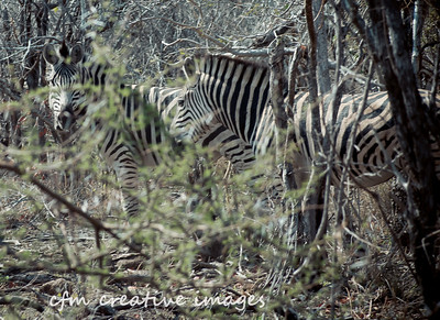 First look at zebras in the wild - Kruger Park - South Africa