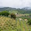 Olive groves near Gualdo Catteneo.