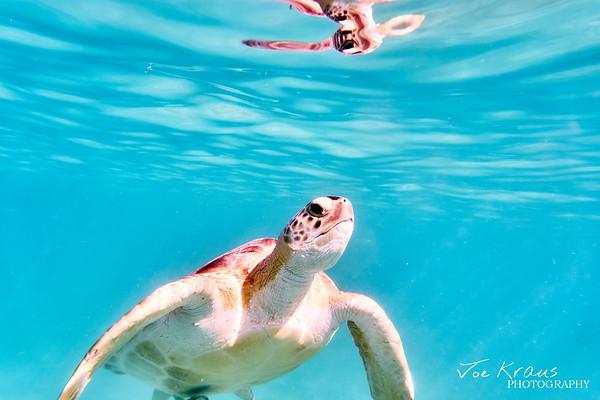 Surfacing Turtle