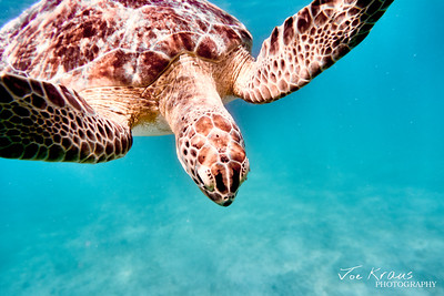Diving Turtle I
