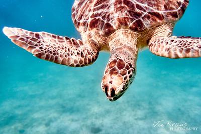 Diving Turtle II