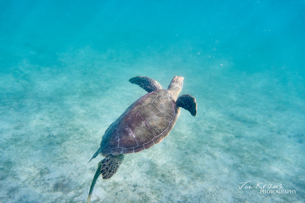 Swimming Turtle IV