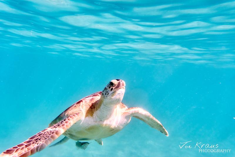 Swimming Turtle II