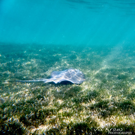 Stingray in the grass