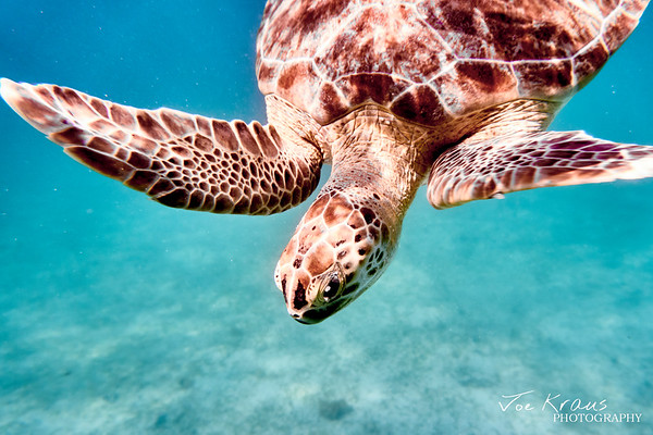 Diving Turtle III