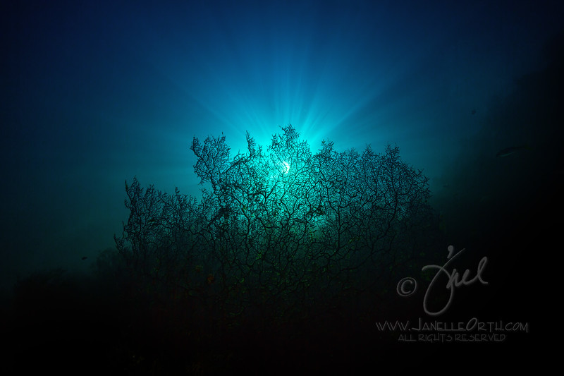 Sea Fan Sunburst  ©2018  Janelle Orth