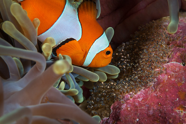 Clownfish with eggs ©2014 Janelle Orth