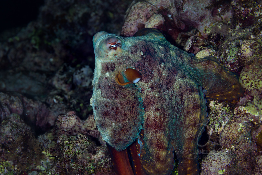 Reef Octopus  ©2016  Janelle Orth
