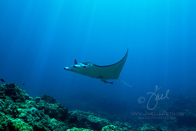 Manta Ray Reef  ©2017  Janelle Orth