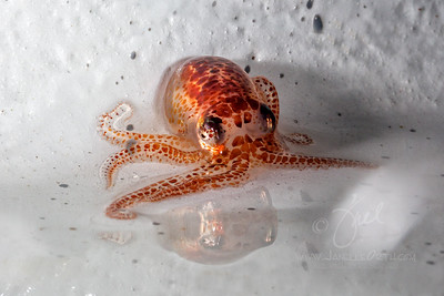 Juvenile Octopus  ©2016  Janelle Orth