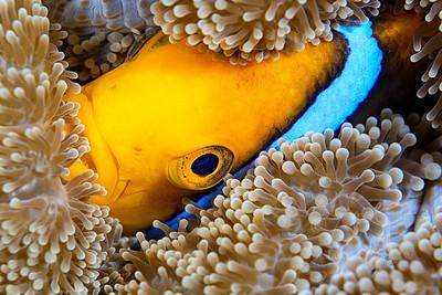 Orangefin anemone fish  ©2014 Janelle Orth