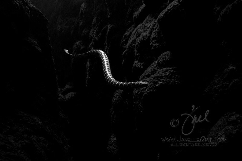 Black Banded Sea Krait BW  ©2017  Janelle Orth