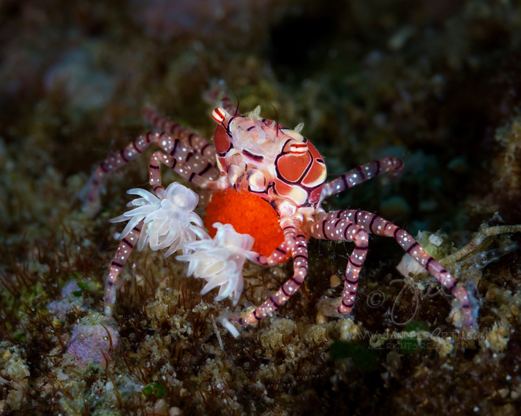 Boxer Crab  ©2018  Janelle Orth