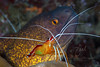 A Moray Eel and this Cleaner Shrimp live a symbiotic life in the Andaman Sea at Similan Islands off the coast of Thailand