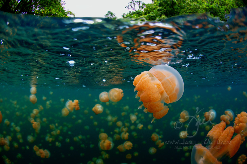 Golden Jellies ©2013 Janelle Orth