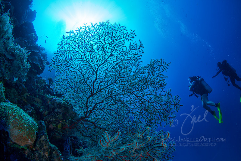 Sea Fan ©2013 Janelle Orth
